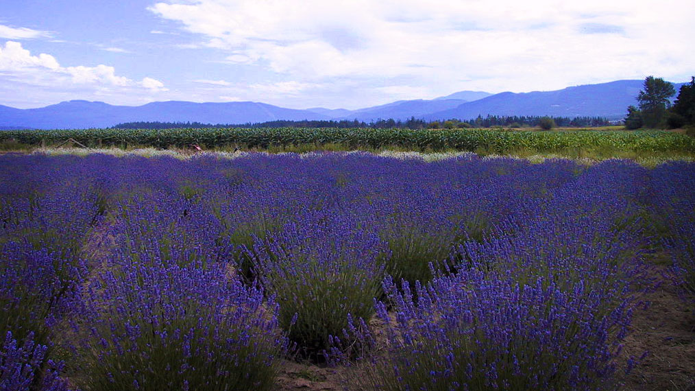 Lavender Farm in Sequim, WA